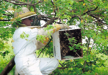 Glenn Gueho of Busy Bee Company removing honeybees to a hive